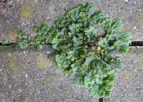 Marchantia polymorpha · paprastoji maršantija 5222