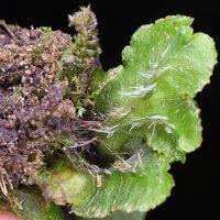 Marchantia polymorpha · paprastoji maršantija 5225