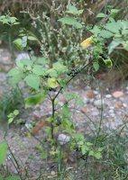 Solanum retroflexum · lenktažiedė kiauliauogė 5268