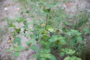 Solanum retroflexum · lenktažiedė kiauliauogė 5270
