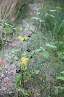 Solanum retroflexum · lenktažiedė kiauliauogė 5271