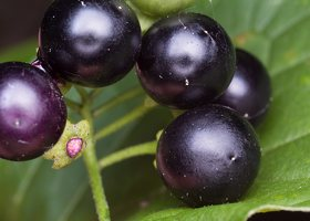Solanum retroflexum berries · lenktažiedė kiauliauogė, uogos 5273