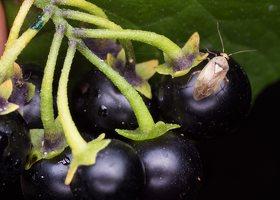 Solanum retroflexum berries · lenktažiedė kiauliauogė, uogos 5274
