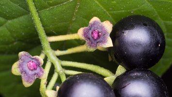 Solanum retroflexum berries · lenktažiedė kiauliauogė, uogos 5276