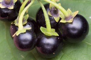 Solanum retroflexum berries · lenktažiedė kiauliauogė, uogos 5277