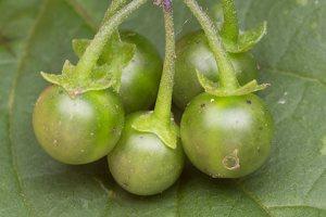 Solanum retroflexum unripe berries · lenktažiedė kiauliauogė, uogos 5278