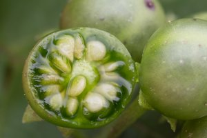 Solanum retroflexum unripe berries · lenktažiedė kiauliauogė, uogos 5279