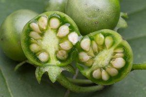 Solanum retroflexum unripe berries · lenktažiedė kiauliauogė, uogos 5280