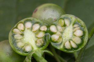 Solanum retroflexum unripe berries · lenktažiedė kiauliauogė, uogos 5281