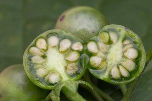Solanum retroflexum unripe berries · lenktažiedė kiauliauogė, uogos 5282