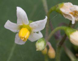 Solanum retroflexum flowers · lenktažiedė kiauliauogė, žiedai 5283