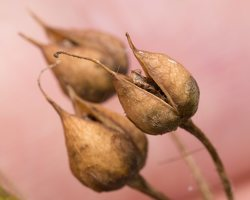 Scrophularia nodosa fruits · nariuotasis bervidis, vaisiai 5293
