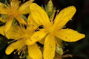Hypericaceae · jonažoliniai