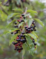 Prunus serotina · vėlyvoji ieva