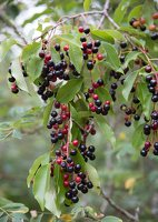 Prunus serotina · vėlyvoji ieva 5395