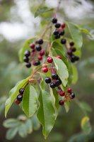 Prunus serotina · vėlyvoji ieva 5396