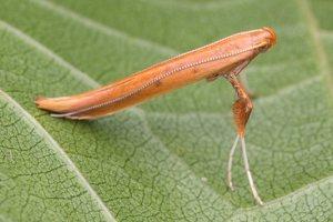 Caloptilia elongella · rudoji alksninė kaloptilija 4837