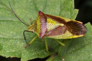 Acanthosoma haemorrhoidale · gudobelinė skydblakė 4884