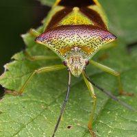 Acanthosoma haemorrhoidale · gudobelinė skydblakė 4885