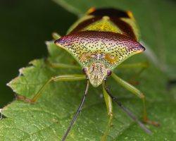 Acanthosoma haemorrhoidale · gudobelinė skydblakė 4886