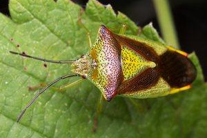 Acanthosoma haemorrhoidale · gudobelinė skydblakė 4887