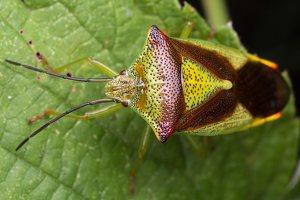 Acanthosoma haemorrhoidale · gudobelinė skydblakė 4888