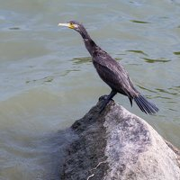Phalacrocorax carbo · didysis kormoranas 5019