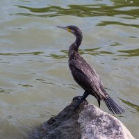 Phalacrocorax carbo · didysis kormoranas 5020