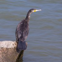 Phalacrocorax carbo · didysis kormoranas 5024
