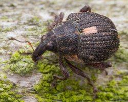 Rhinoncus pericarpius · straubliukas 5043