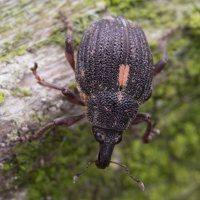Rhinoncus pericarpius · straubliukas 5044