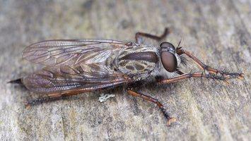 Asilidae · musė plėšrūnė 5048