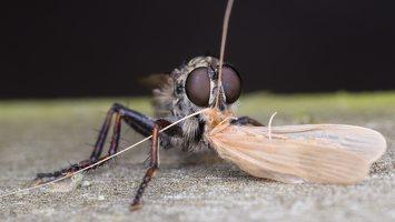 Asilidae · musė plėšrūnė 5070