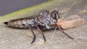 Asilidae · musė plėšrūnė 5071