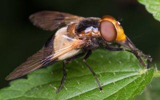Syrphidae · žiedmusės 5085