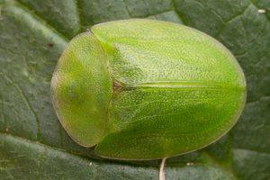 Cassida viridis · žaliasis skydinukas 5090