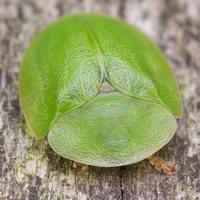 Cassida viridis · žaliasis skydinukas 5092