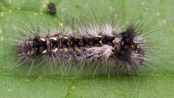 Acronicta rumicis caterpillar · rūgštyninis strėlinukas, vikšras 5151