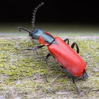 Anthocomus rufus · pūsliavabalis 5158