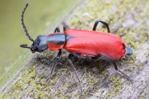 Anthocomus rufus · pūsliavabalis 5160