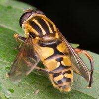 Syrphidae · žiedmusės 5175