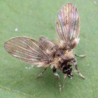 Psychodidae · kandinis uodelis 5178