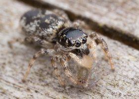 Salticus cingulatus female · baltašonis šokliavoris ♀ 5195