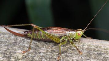 Conocephalus dorsalis · pelkinis smailiagalvis 5207