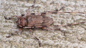 Acanthocinus aedilis male · ilgaūsis pušiagraužis ♂ 5215