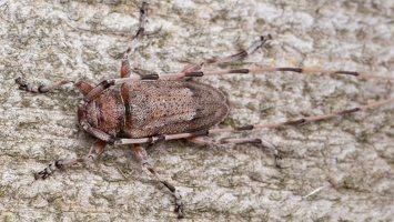 Acanthocinus aedilis male · ilgaūsis pušiagraužis ♂ 5217