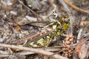 Myrmeleotettix maculatus · margasis ietinukas 5258