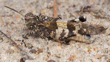 Oedipoda caerulescens · mėlynsparnis tarkšlys 5261