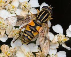 Syrphidae · žiedmusės 5294