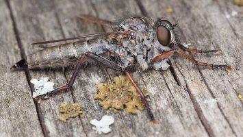 Asilidae · musė plėšrūnė 5332